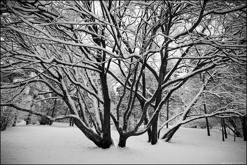 Коряги - коряги деревья ветви снег чернобелое серебряный бор фото фотосайт