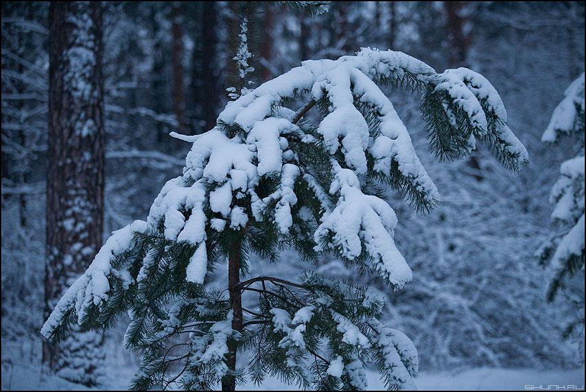 * * * - зима лапа ель фото фотосайт