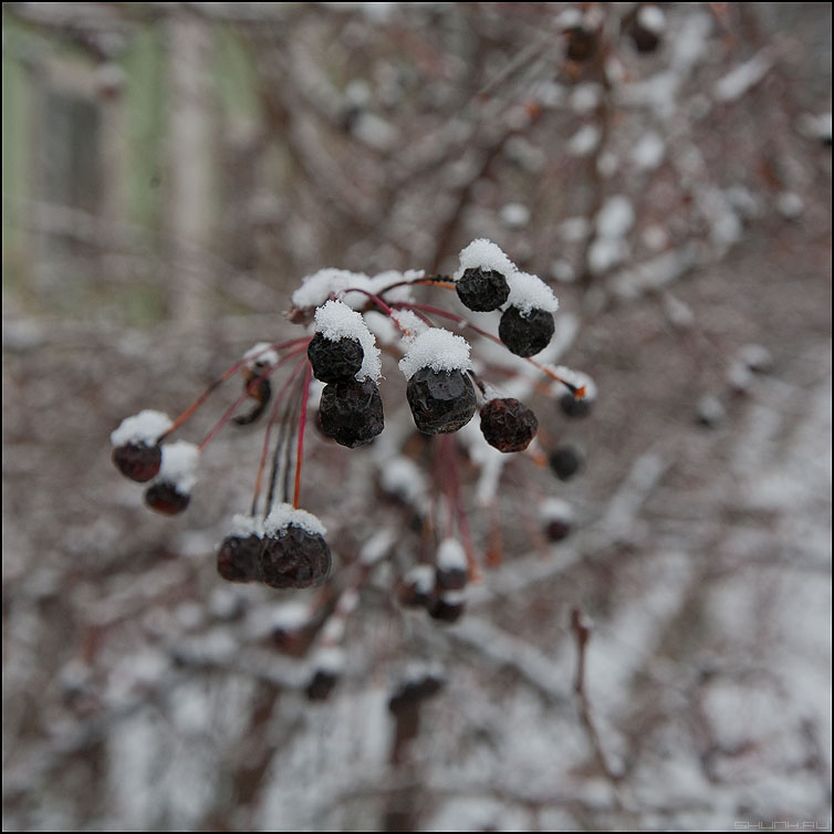 Зимнее лакомство - ягодки тверь зима крвдратное подснежные фото фотосайт