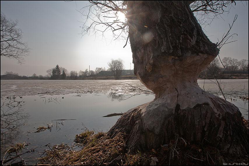 Бобер носа не подточит - бобры дерево деревня лед весна пруд фото фотосайт