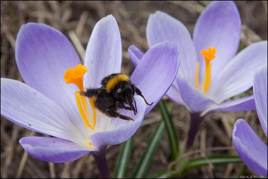 Этому больше не наливать - шмель цветы весна пыльца макро фото фотосайт