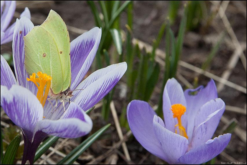 От тычинки к тычинке - бабочка цветы первые весна тычинки пестики фото фотосайт