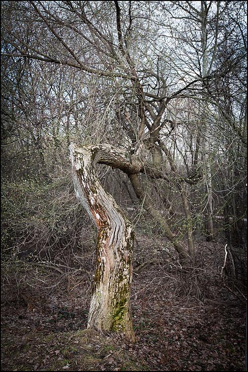 Кривое зеркало - дерево лес покровское стрешнево весна фото фотосайт
