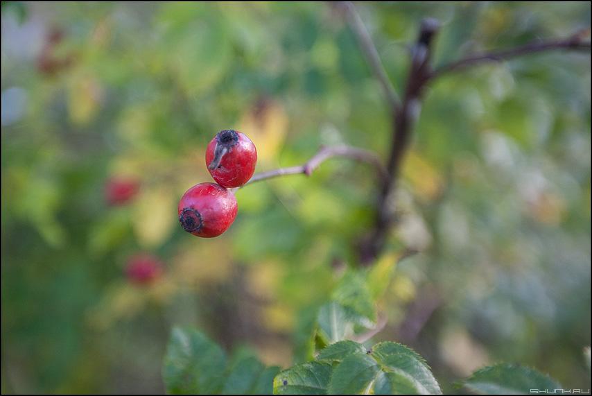 Ягодки (вариант) - ягоды деревня кусты шиповник красные фото фотосайт