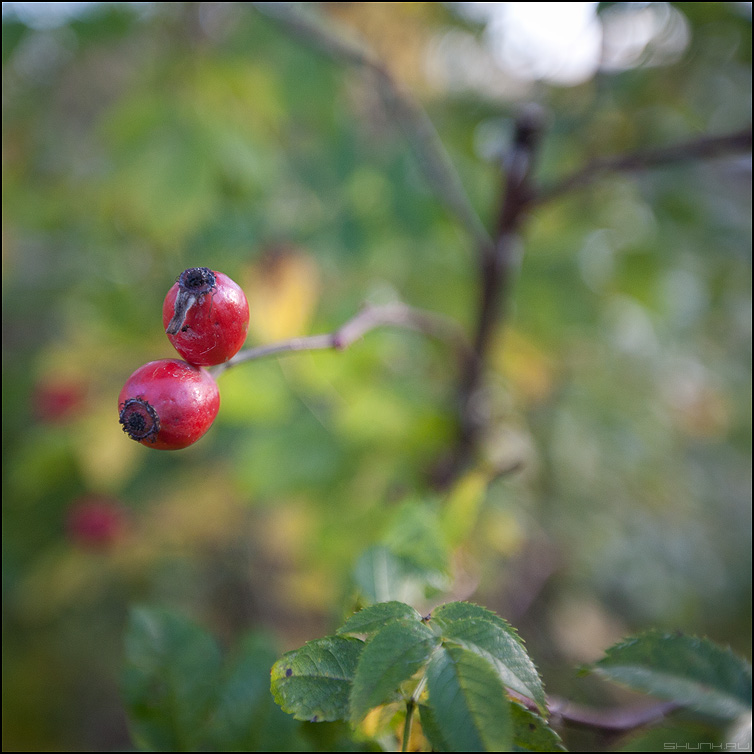 Ягодки - ягоды деревня кусты шиповник красные квадратное фото фотосайт