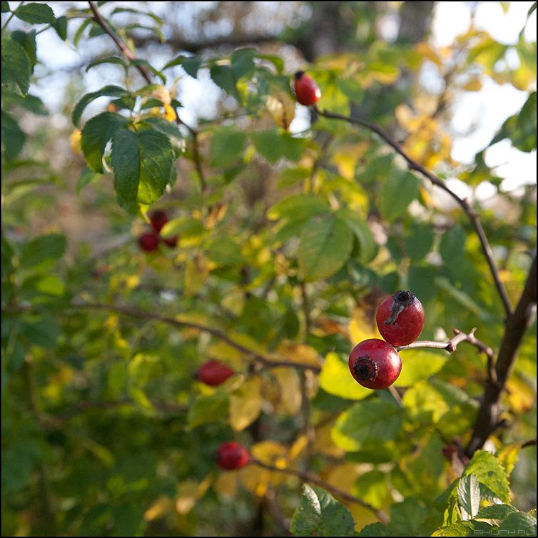 Ягоды - ягоды деревня кусты шиповник красные квадратное фото фотосайт