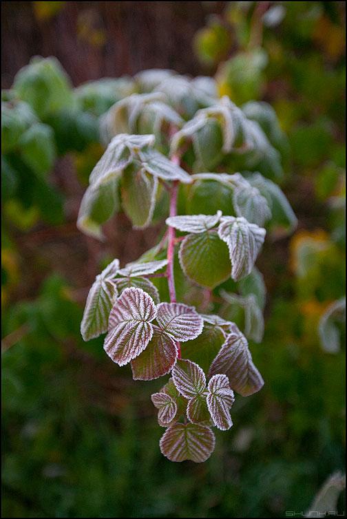 Первые морозы - осень смородина иней листья -2 фото фотосайт