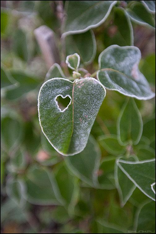 Холод твоего сердца - лист сирень сердце дырочка выгрызти фото фотосайт