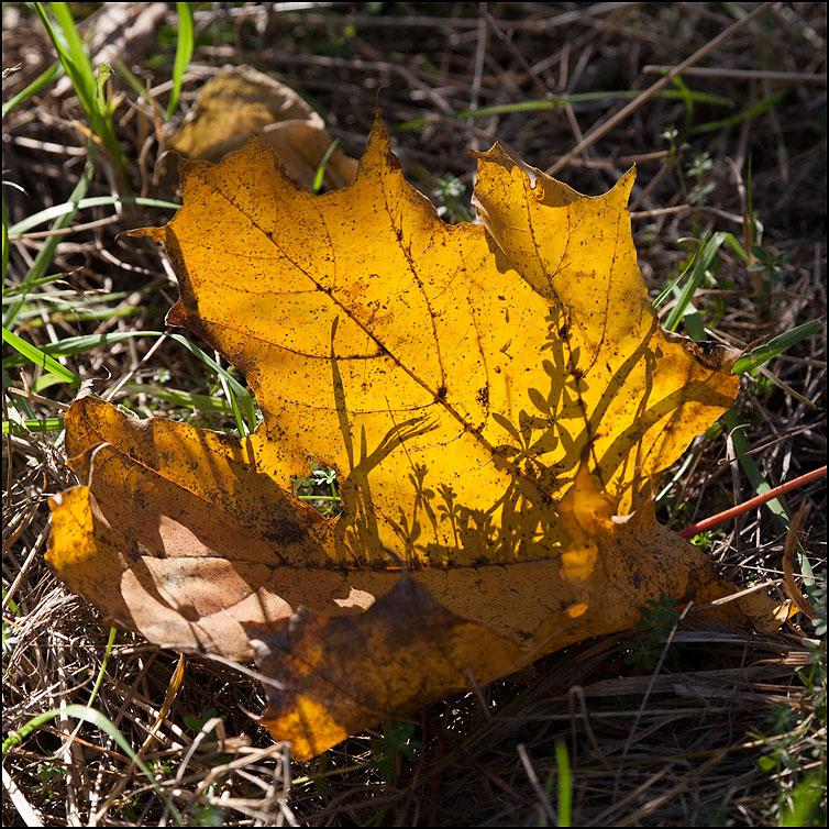 Осенние ростки - тень лист клен квадрат осень фото фотосайт