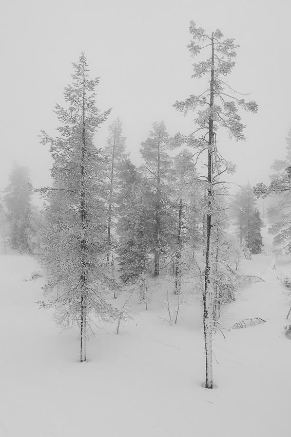 Лесное - шорнолыжное зма леви 2020 лес чб фото фотосайт