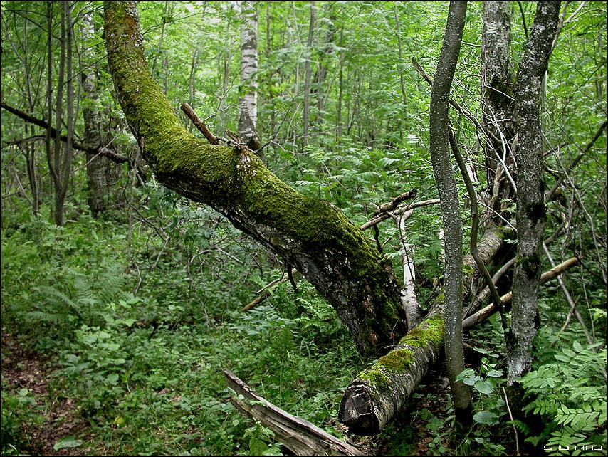 В лесу у болота - дерево мох лес шустиково фото фотосайт
