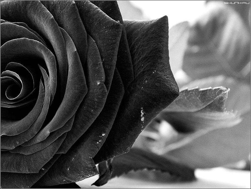 Роза - роза b&w фото фотосайт