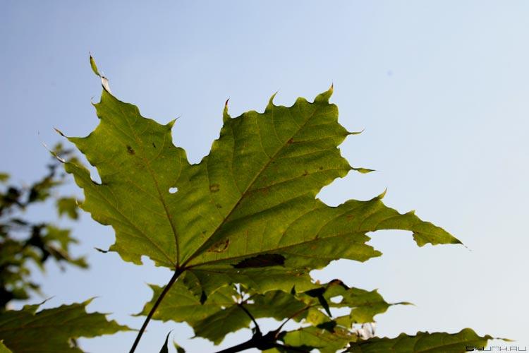 Солнце режет листья... - лист кленовый солнце края фото фотосайт