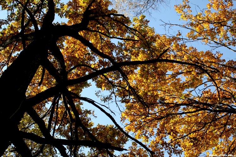 Взгляд в небо - осень деревья дуб серия времена года желтая листва дерево черное фото фотосайт