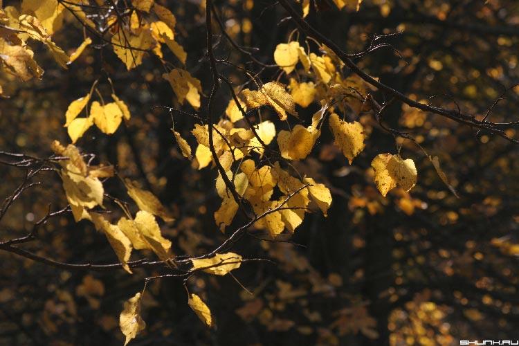Золотая... - осень ветви желтые листы фото фотосайт