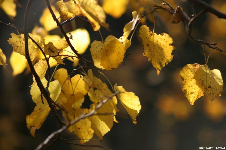 Золотая... (2) - осень ветви желтые листы фото фотосайт