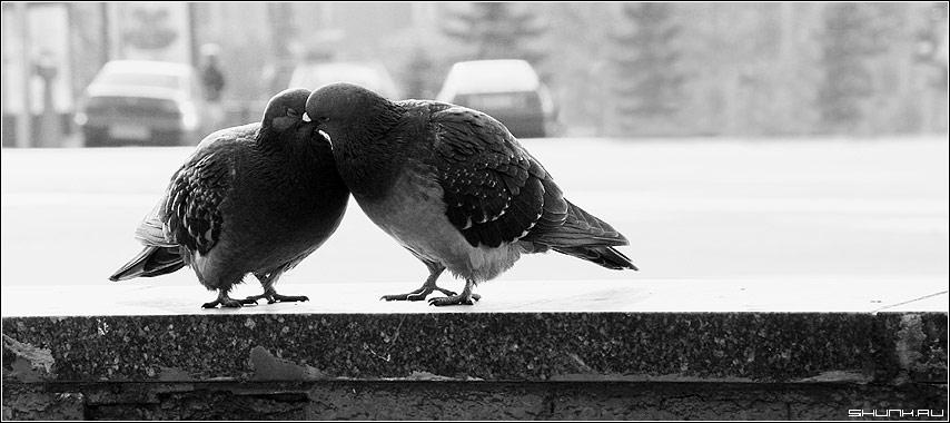 Поцелуй - голуби поцелуй черно-белое фото фотосайт