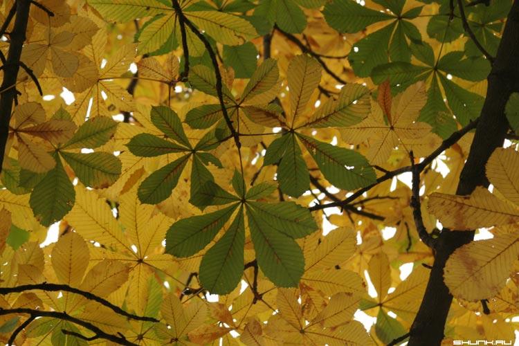 Каштановое небо - листья осень каштаны фото фотосайт
