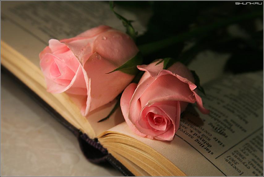 Две розы - розы книжка капли фото фотосайт