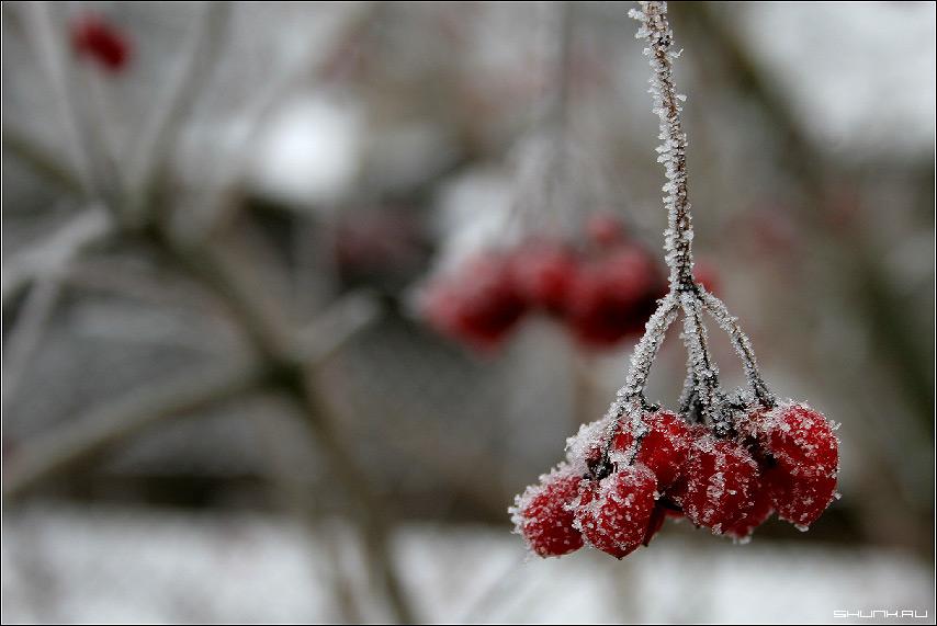 Калина красная - зима калина ветка макро красный цвет фото фотосайт