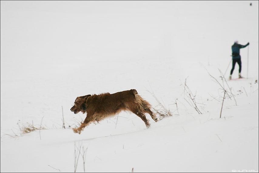В разные стороны - собака лыжник зима фото фотосайт