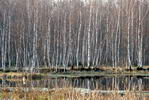 Весенний лес - болото березовая чаща