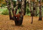 Шаман осени - береза листва человек единение природа