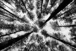 Взгляд гриба - сосны ветви лес чернобелое фото