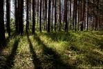 Лучи в сосновом лесу - лес сосны лучи света трава лето