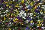 Анютины глазки - цветочки клумба разноцветные