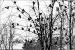 Последние листочки - воробьи осень листва ветви парк чёрноеибелое