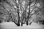 Коряги - коряги деревья ветви снег чернобелое серебряный бор
