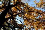 Взгляд в небо - осень деревья дуб серия времена года желтая листва дерево черное