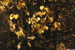 Золотая... - осень ветви желтые листы
