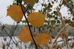 Последние листики - листья четыре ветка желтый цвет