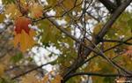 Последние листики (конец октября) - листья осень красный клен
