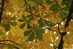 Каштановое небо - листья осень каштаны