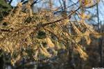 Пожелтела листва - осень лиственница