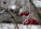 Калина красная - зима калина ветка макро красный цвет